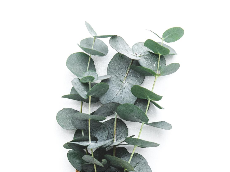Volatile etherische olie Eucalyptus Wild