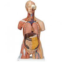 3B Scientific menselijke torso spieren model deluxe
