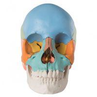 3B Scientific schedel 22 delig kleur