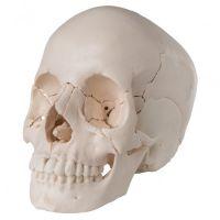 3B Scientific schedel model 22 delig
