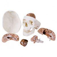 3B Scientific schedel 8-delig met hersenen